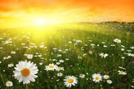 11646138-flower-field-and-sunset